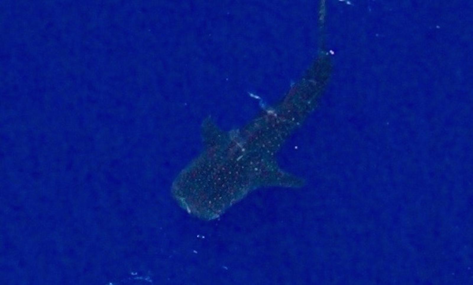 requin baleine en gros plan vue du ciel école ulm Fly Réunion