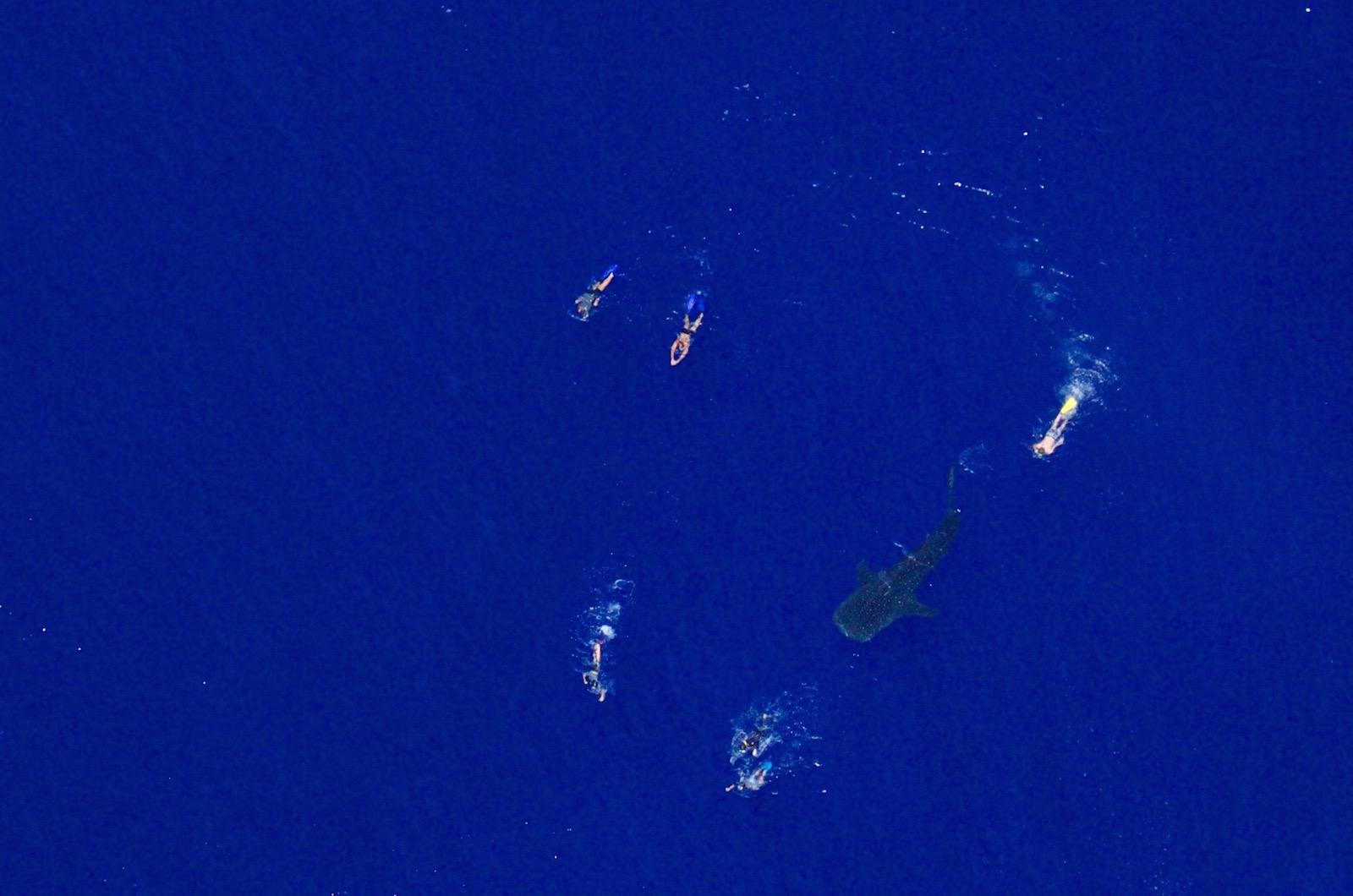 requin baleine avec des nageurs vue du ciel école ulm Fly Réunion